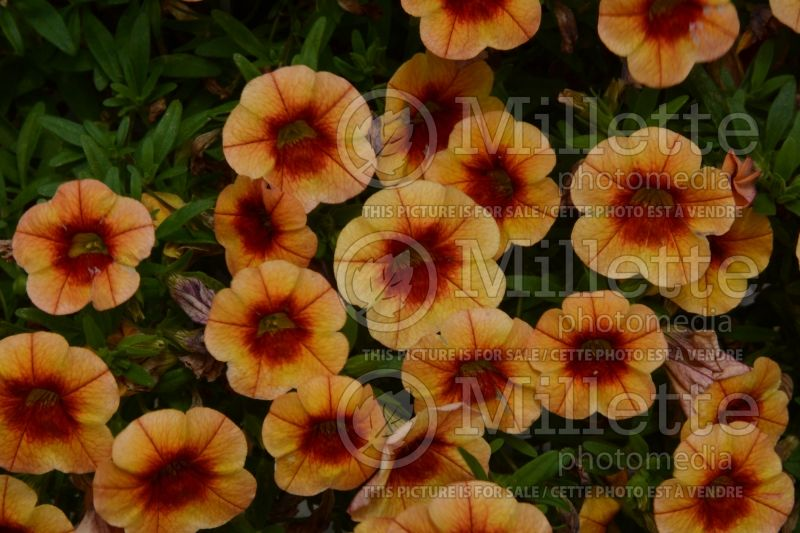 Calibrachoa Minifamous Neo Orange+Red Eye 17 (Calibrachoa) 1