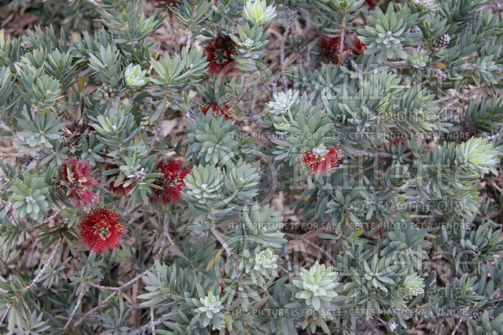 Callistemon Little John (Dwarf Bottlebrush) 5