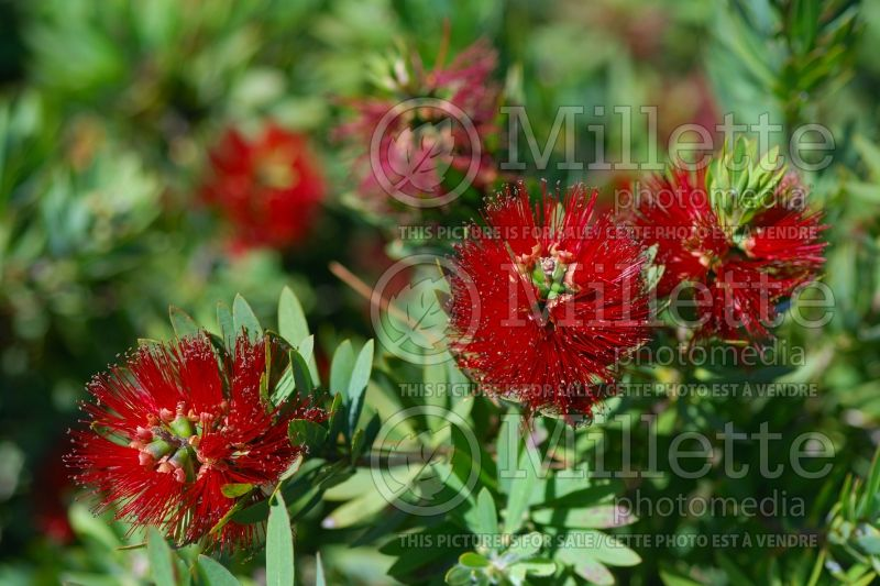 Callistemon little john rince bouteille 2 for Plante rince bouteille