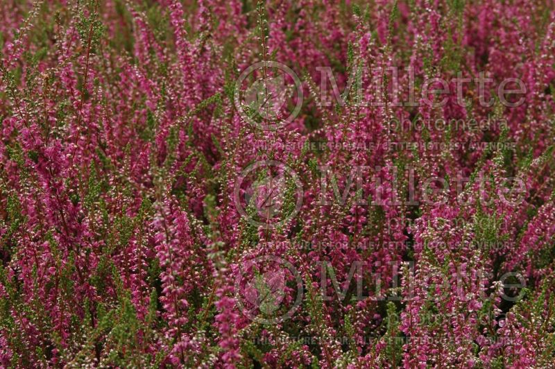 Calluna Allegro (Heather) 2