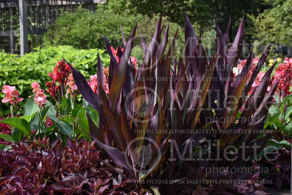 Canna Intrigue (Canna Lily) 5
