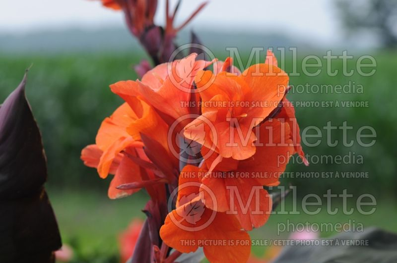 Canna Orange Chocolate (Canna Lily) 1