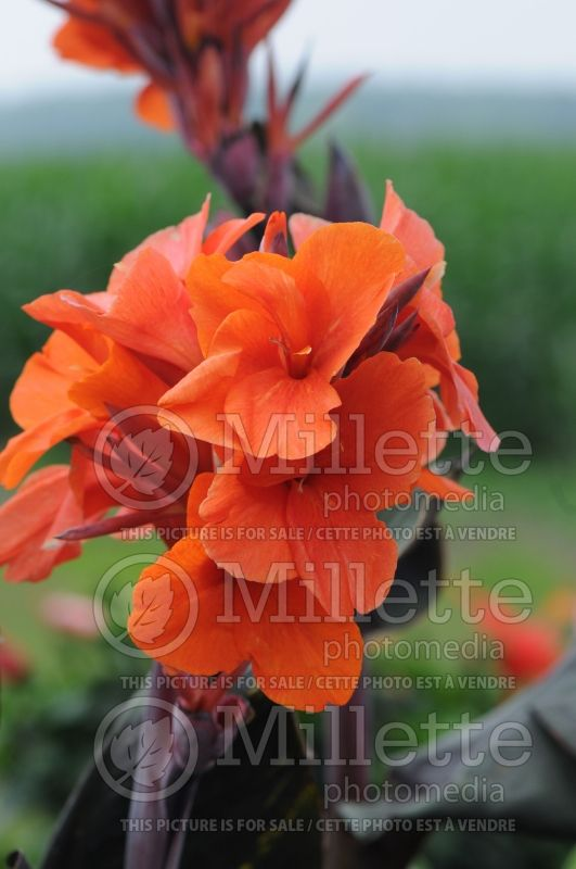 Canna Orange Chocolate (Canna Lily) 2