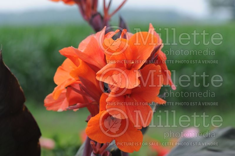 Canna Orange Chocolate (Canna Lily) 3