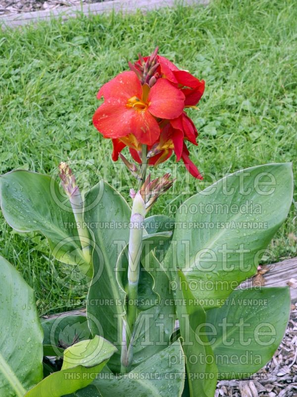 Canna South Pacific Scarlet (Canna) 4