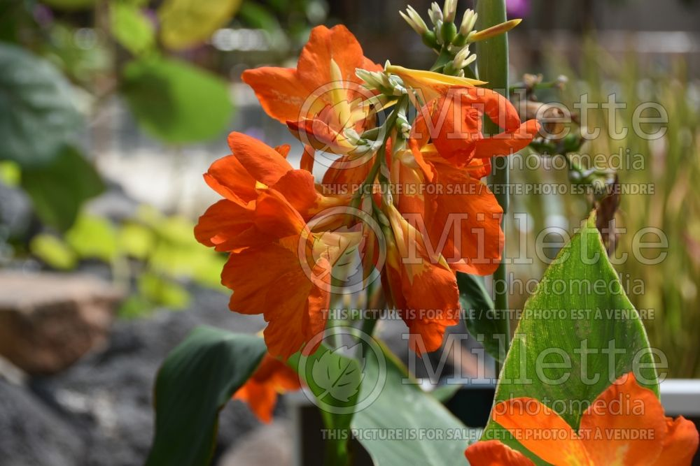 Canna Wyoming (Canna Lily) 1