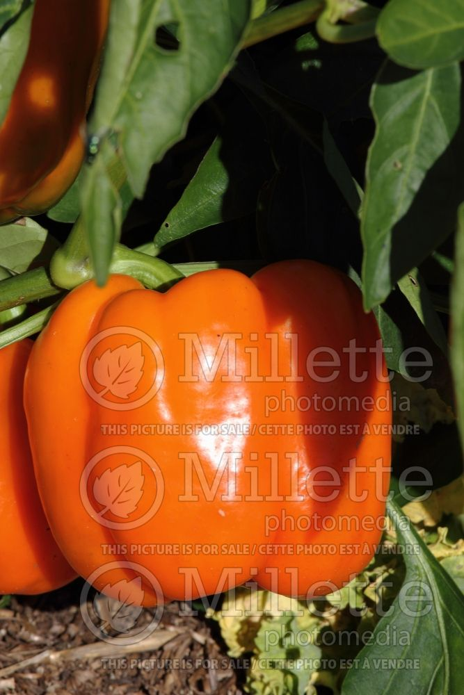 Capsicum Gourmet Orange (Bell pepper) 1