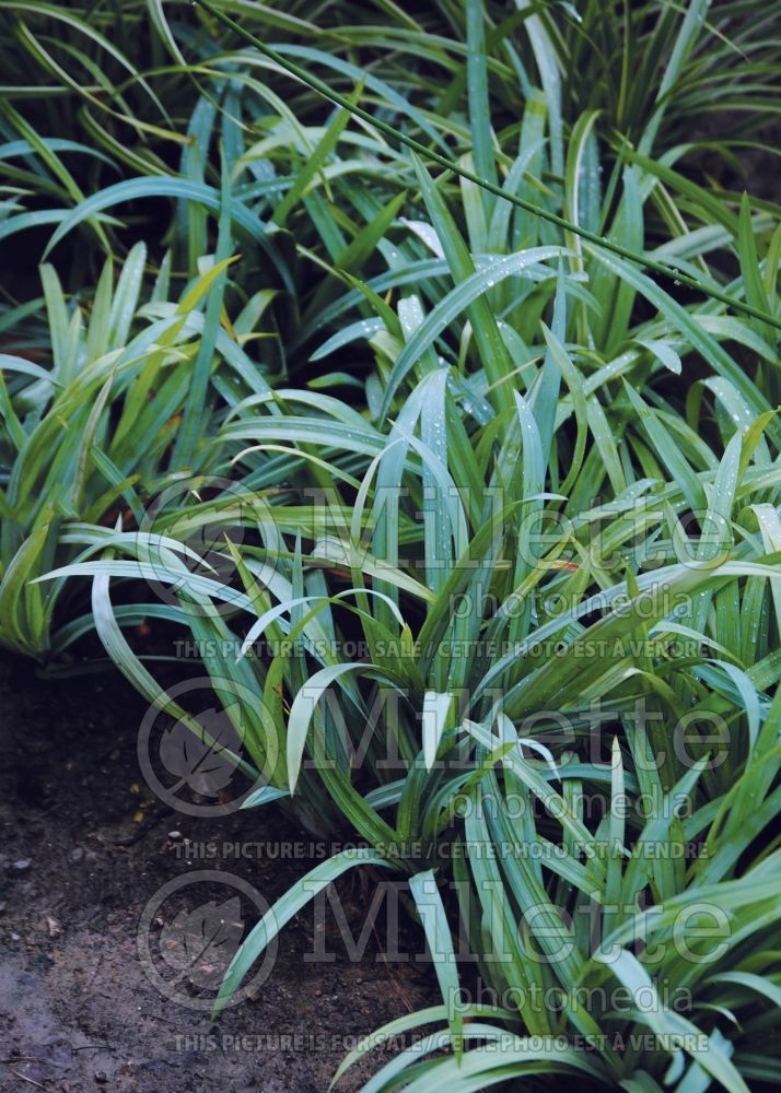 Carex Bunny Blue aka Hobb (Broad-leaved Sedge Ornamental Grass) 3