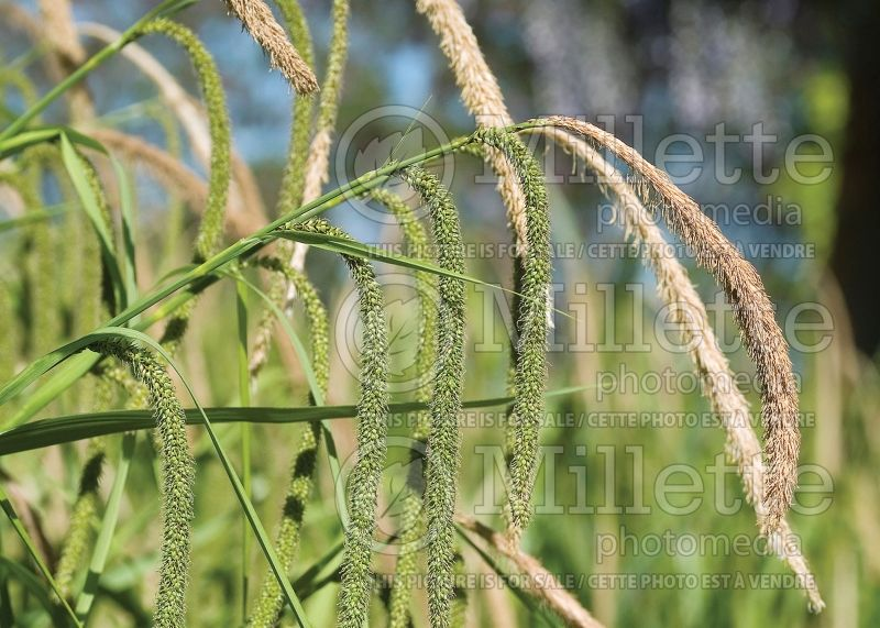 Carex pendula (Sedge Ornamental Grass) 2