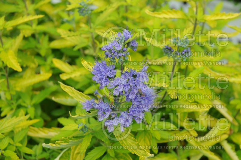 Caryopteris Lil Miss Sunshine aka Janice (Blue Mist Shrub Bluebeard) 1