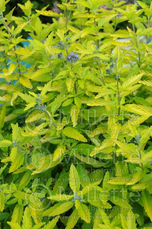 Caryopteris Lil Miss Sunshine aka Janice (Blue Mist Shrub Bluebeard) 2