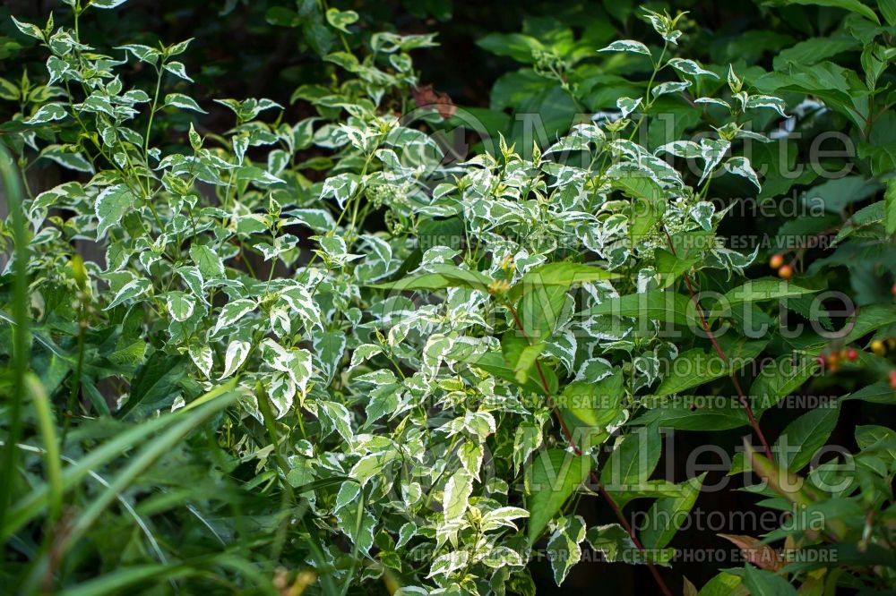 Caryopteris Snow Fairy (Blue Mist Shrub Bluebeard) 8