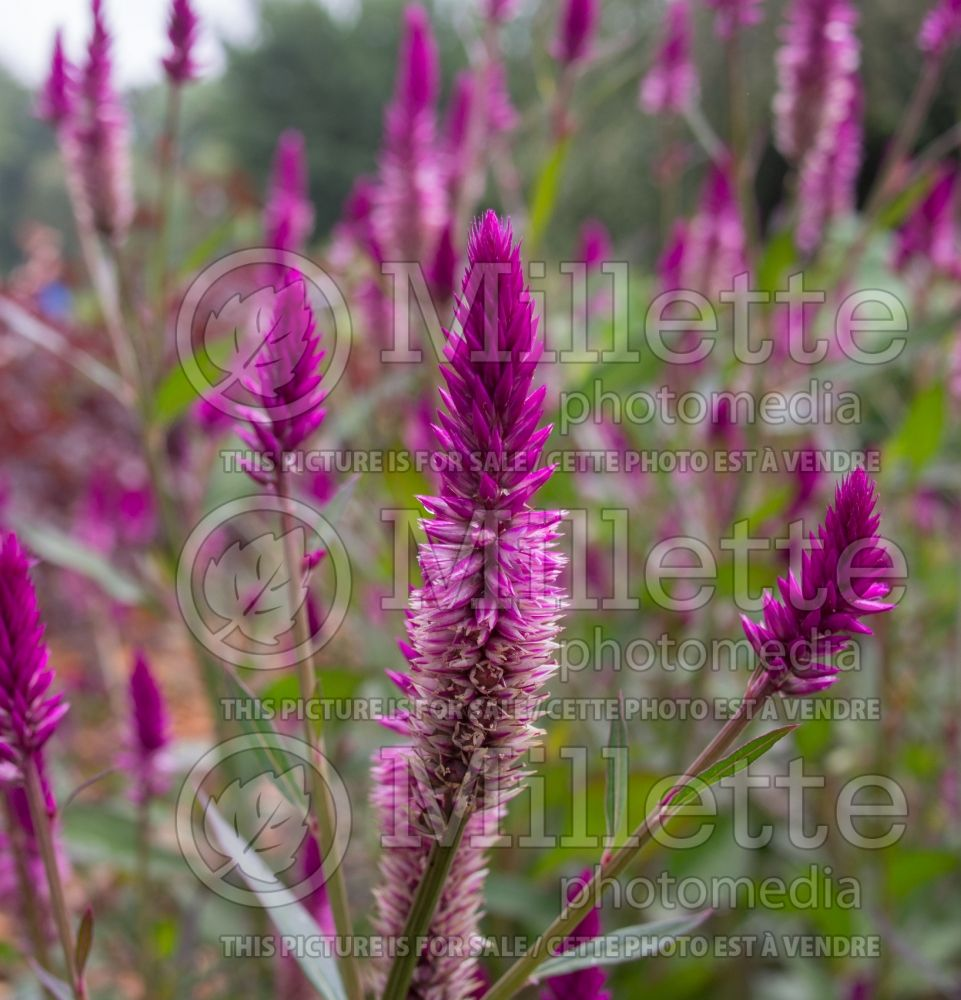 Celosia Asian Garden (Cockscomb) 3