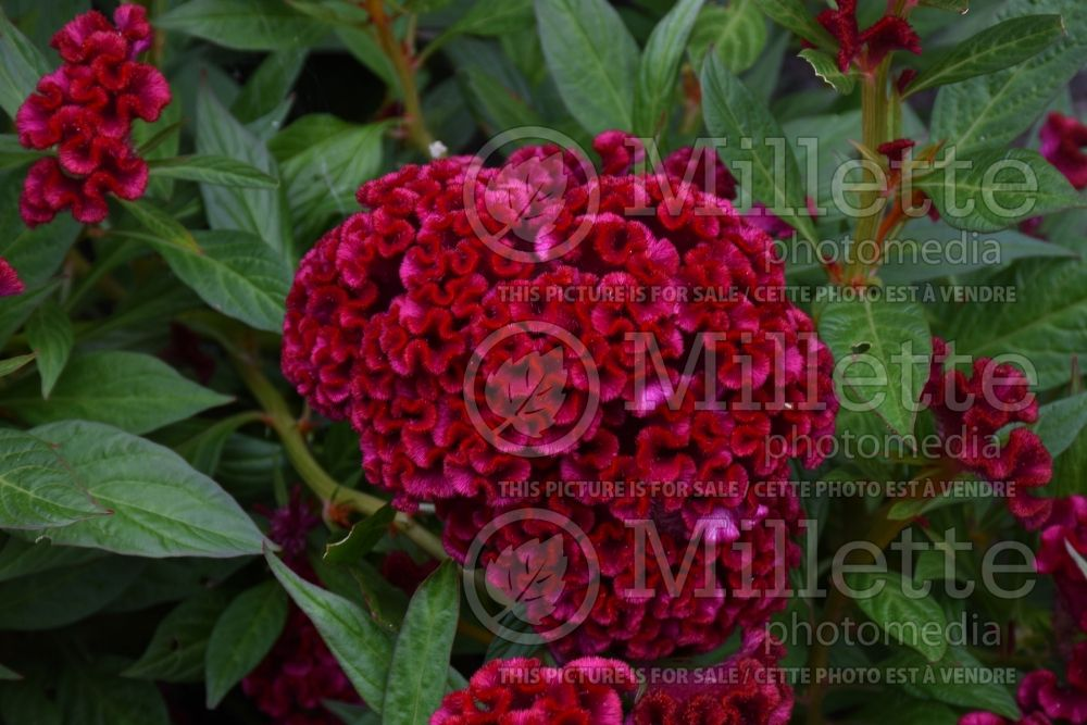 Celosia Twisted Red Improved (Cockscomb) 1