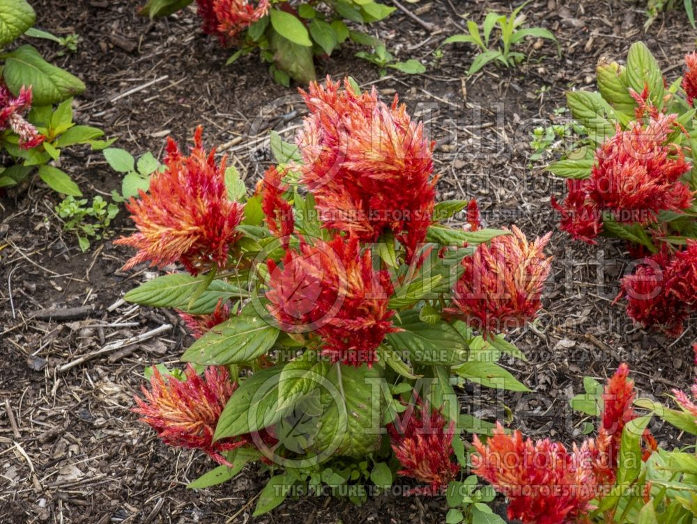 Celosia First Flame Scarlet (Cockscomb) 1