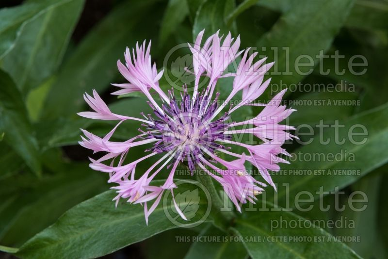 Centaurea Joyce (Mountain Cornflower, Knapweed) 1