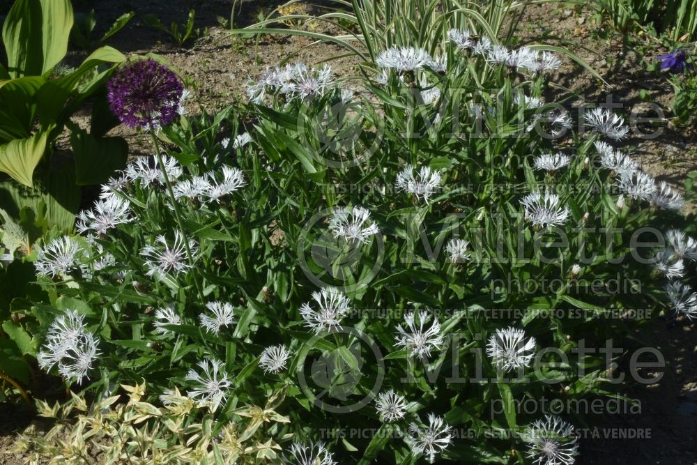 Centaurea Lady Flora Hastings (knapweeds Bachelor's Button, Cornflower) 1