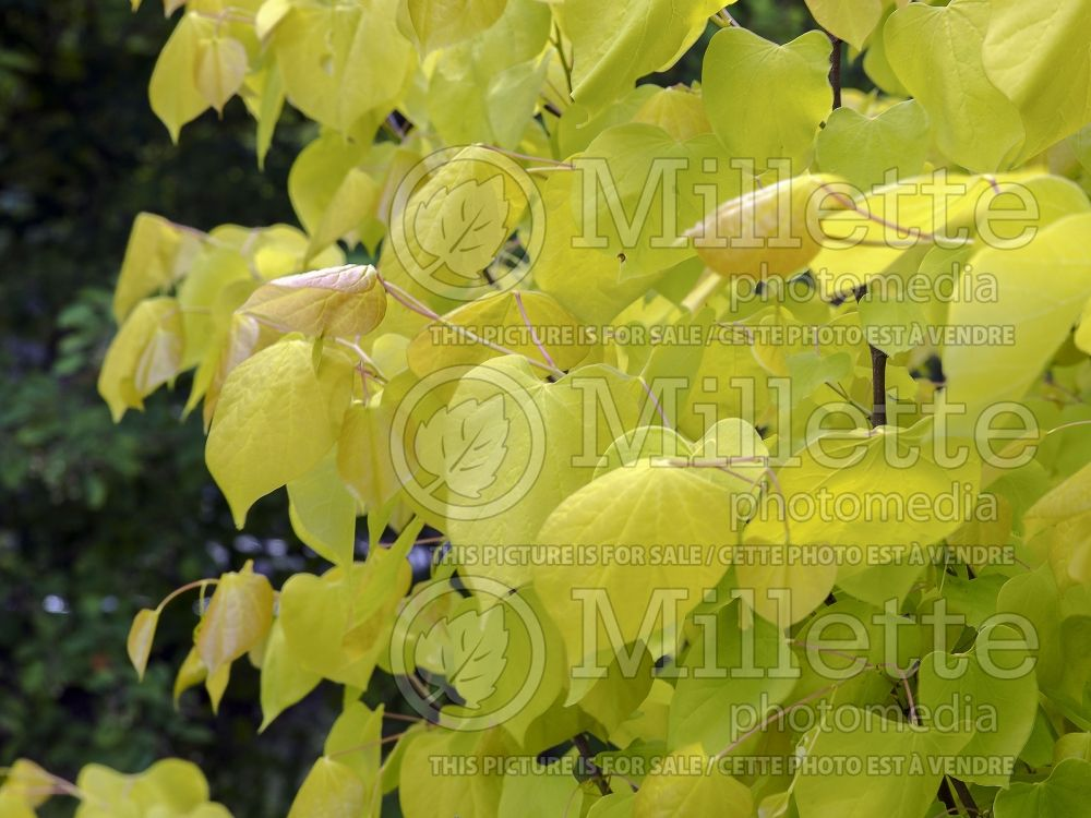 Cercis Hearts of Gold (Redbud) 5