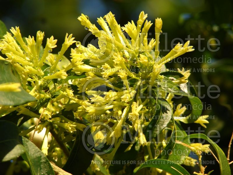Cestrum nocturnum (Night Blooming Jasmine, Queen of the Night) 5