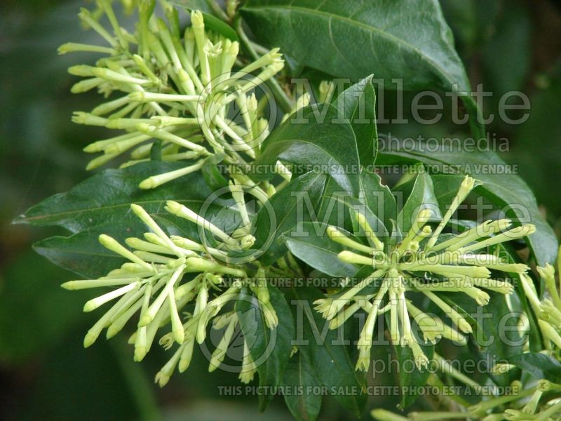 Cestrum nocturnum (Night Blooming Jasmine, Queen of the Night) 8