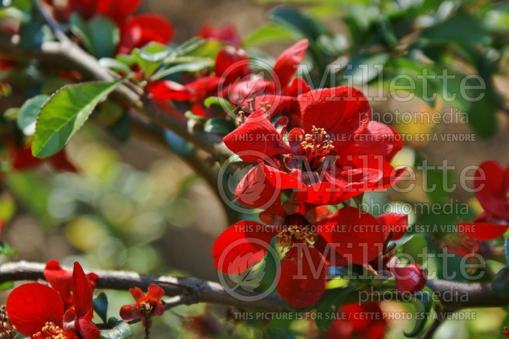 Chaenomeles Crimson and Gold (Quince - Cognassier) 1