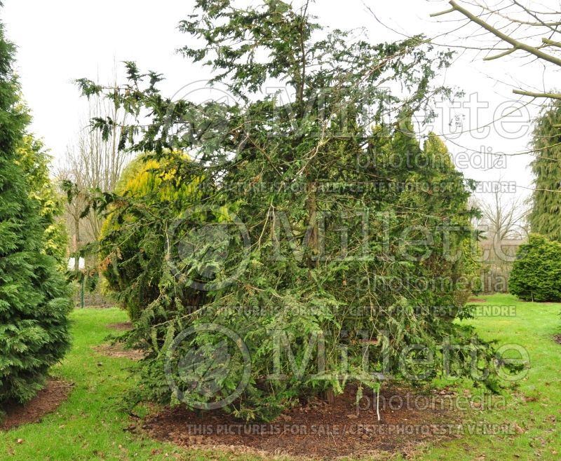 Chamaecyparis Filicoides (hinoki cypress  conifer) 1