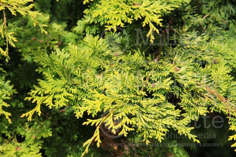 Chamaecyparis Gracilis Aurea (Hinoki False Cypress conifer) 2