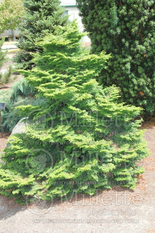 Chamaecyparis Kosteri (Hinoki False Cypress conifer) 1