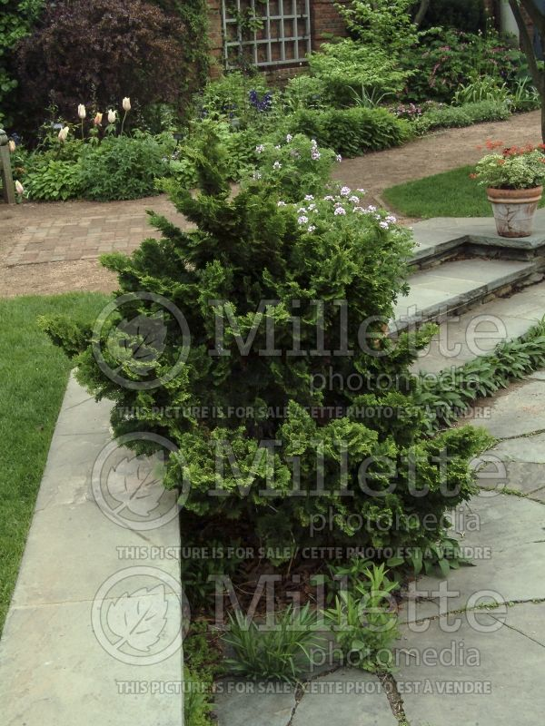 Chamaecyparis Nana Gracilis (Hinoki False Cypress conifer) 6