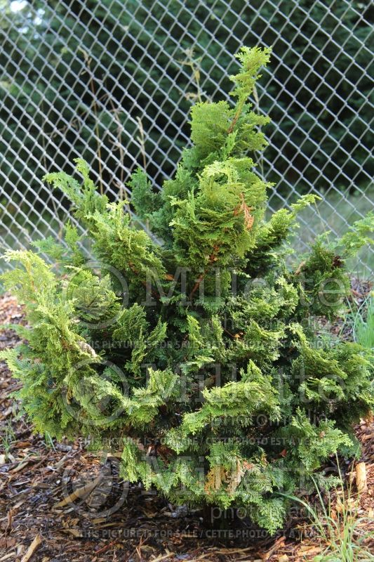 Chamaecyparis Nana Gracilis (Hinoki False Cypress conifer) 3