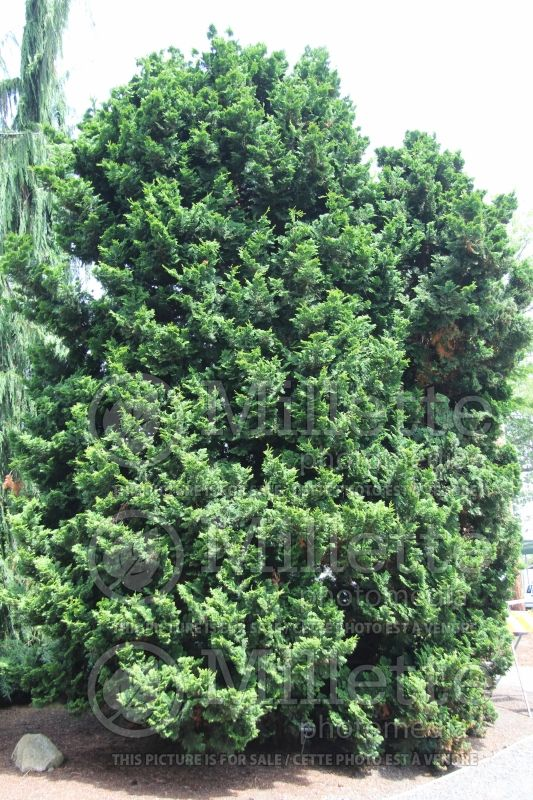 Chamaecyparis Nana Gracilis (Hinoki False Cypress conifer) 4