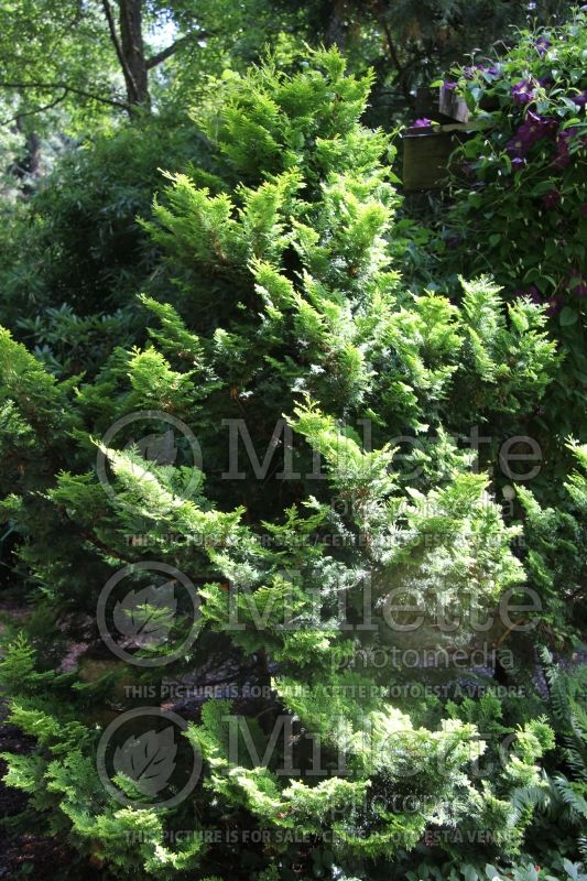 Chamaecyparis Nana Gracilis (Hinoki False Cypress conifer) 5