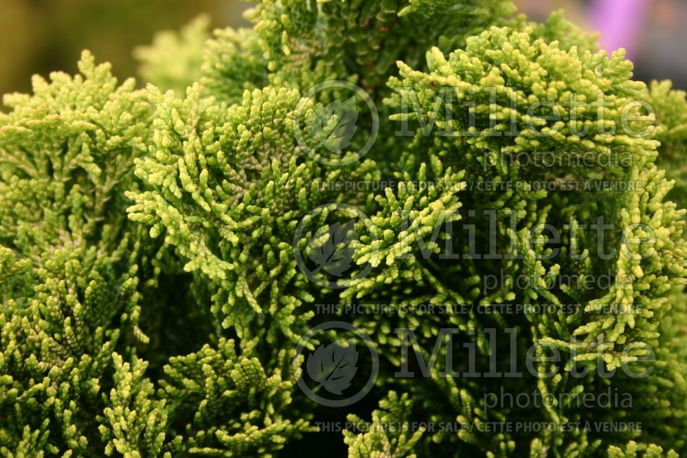 Chamaecyparis Nana Lutea (Hinoki False Cypress conifer) 14