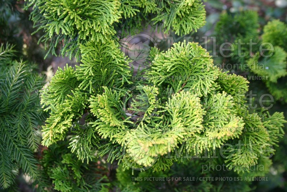 Chamaecyparis Nana Lutea (Hinoki False Cypress conifer) 12