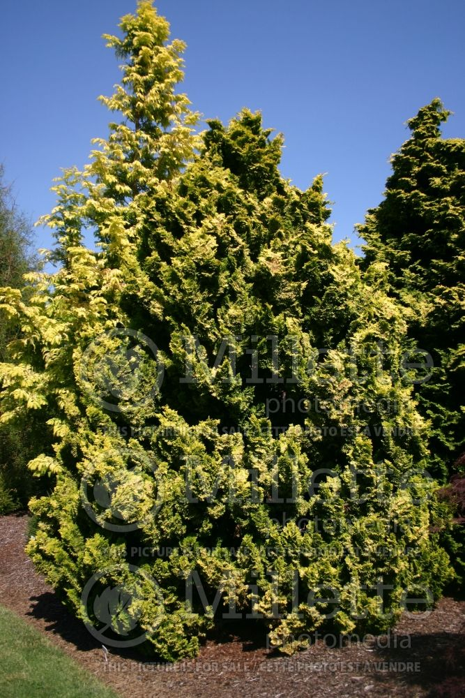 Chamaecyparis Nana Lutea (Hinoki False Cypress conifer) 11