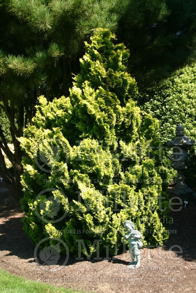 Chamaecyparis Nana Lutea (Hinoki False Cypress conifer) 10