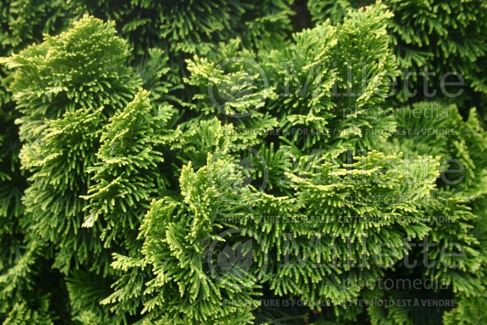 Chamaecyparis Nana Lutea (Hinoki False Cypress conifer) 8