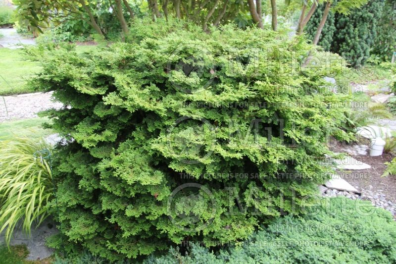 Chamaecyparis Pygmaea Aurescens (Hinoki False Cypress conifer) 1