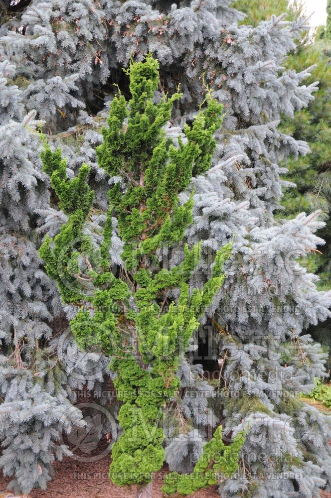 Chamaecyparis Spiralis (False Cypress conifer) 1