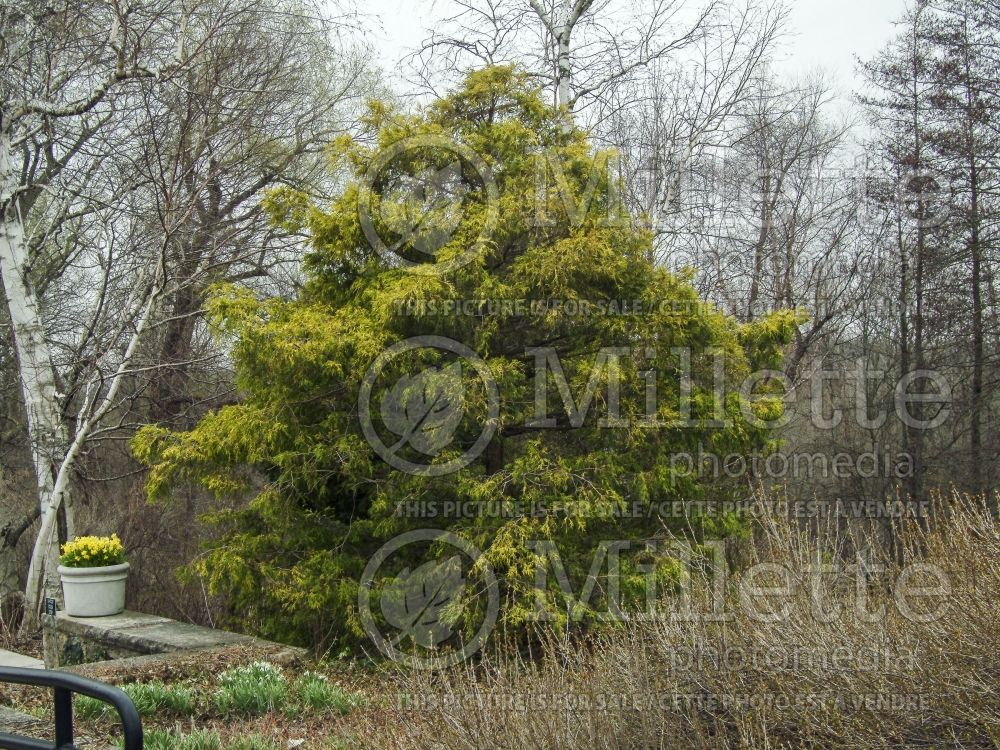 Chamaecyparis Filifera Aurea (False Cypress conifer) 4