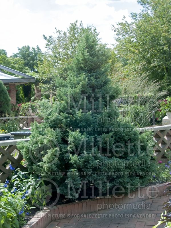 Chamaecyparis Boulevard (False Cypress conifer) 8