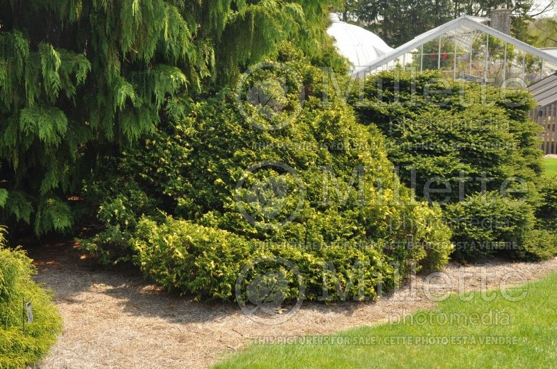 Chamaecyparis Compacta Variegata (False Cypress conifer) 1