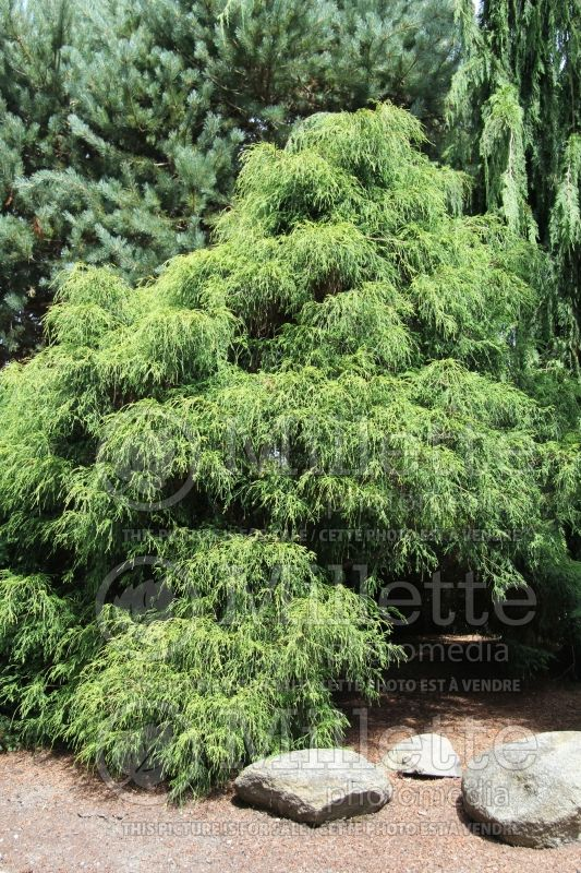 Chamaecyparis Filifera Aurea (False Cypress conifer 3
