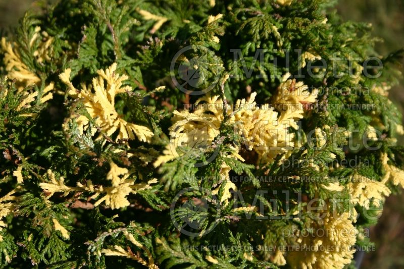 Chamaecyparis Gold Dust (Sawara False Cypress conifer) 1