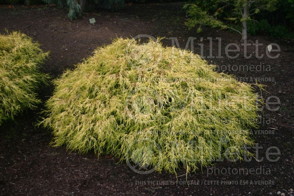 Chamaecyparis Lemon Thread (Sawara False Cypress conifer) 7
