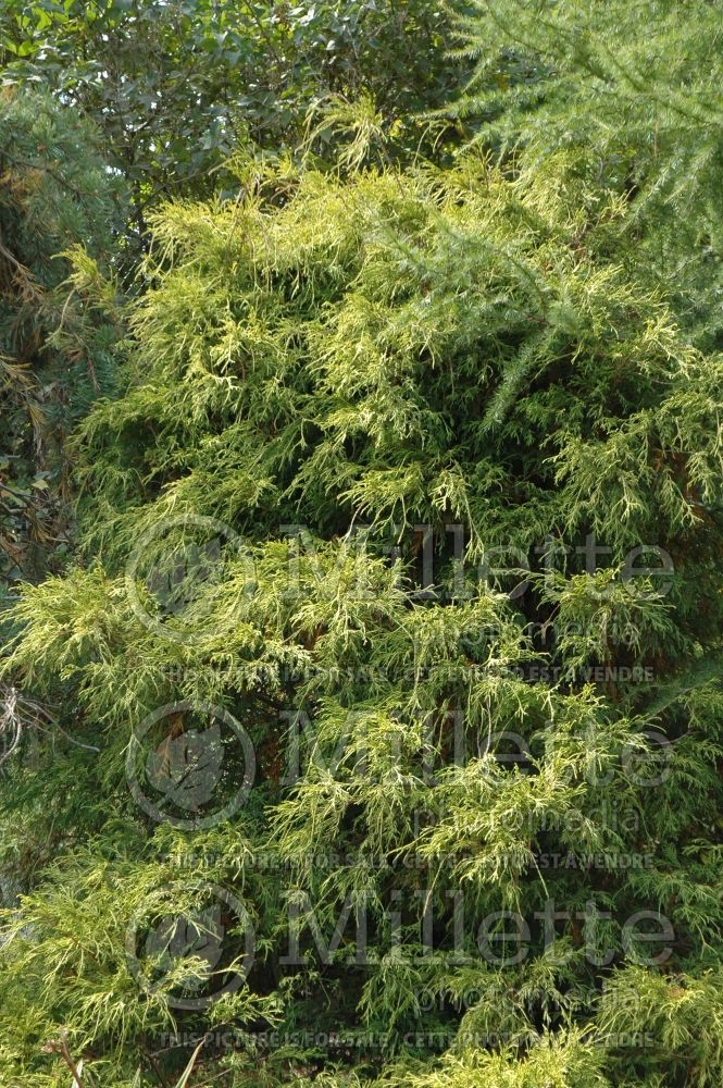 Chamaecyparis Lemon Thread (Sawara False Cypress conifer) 12