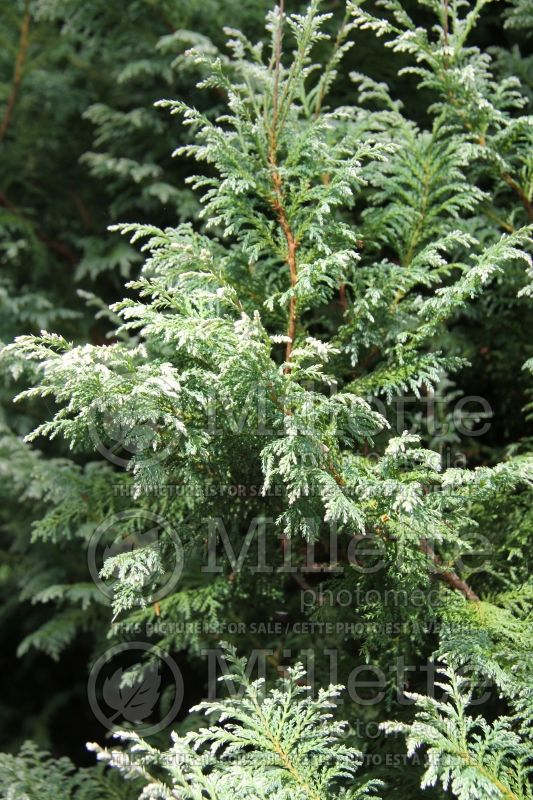Chamaecyparis Snow (False Cypress conifer) 3