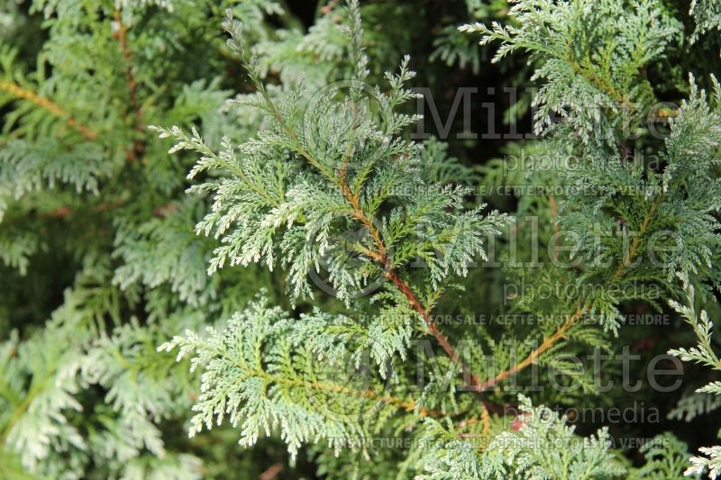 Chamaecyparis Snow (False Cypress conifer) 4