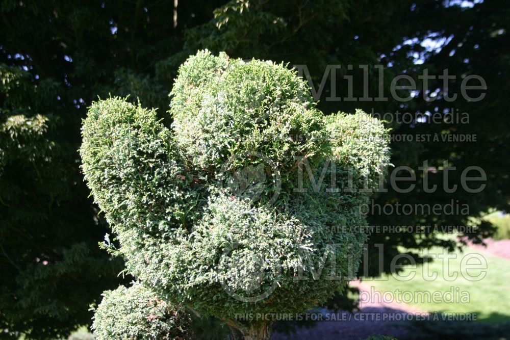 Chamaecyparis Squarrosa Intermedia – topiary (hinoki cypress  conifer) 2