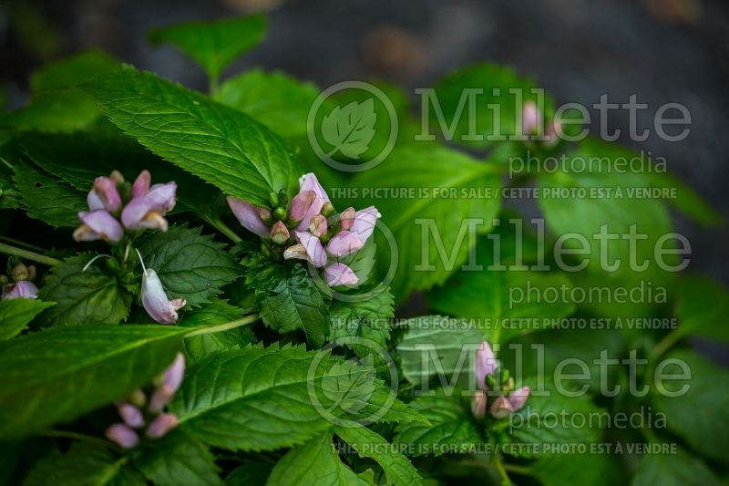 Chelone Pink Temptation (Turtlehead) 1